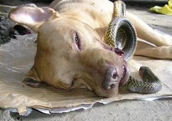 Chief hy sinh để cứu chủ mình khi cố cắn chết con rắn hổ mang